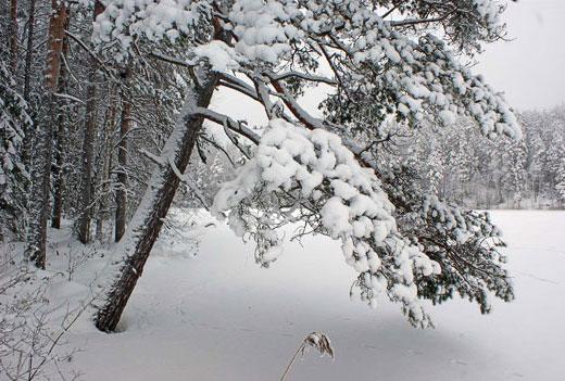 Mänty, Pinus Sylvestris. Kuva: Jouko Lehmuskallio