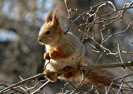 Orava, Sciurus vulgaris. Kuva: Jouko Lehmuskallio