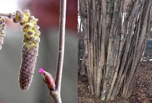 Pähkinäpensas, Corylus avellana. Kuva: Jouko Lehmuskallio