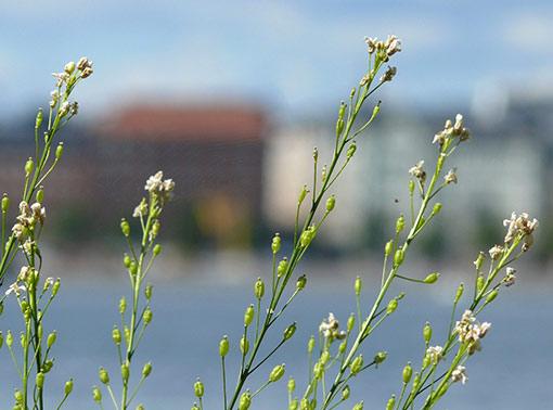 Piparjuuri, kuva: Jouko Lehmuskallio
