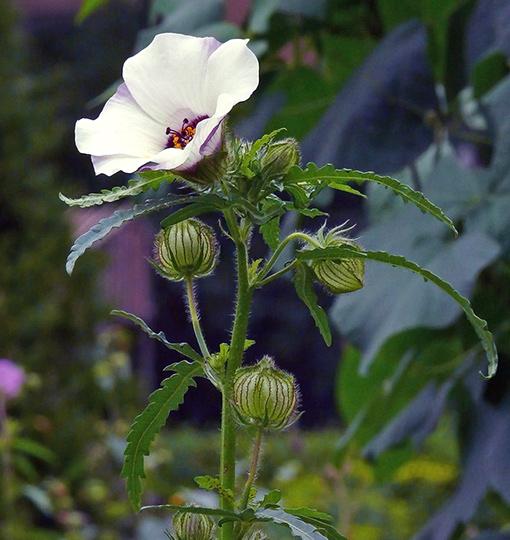 Ajannäyttäjä, Hibiscus trionum. Kuva Jouko Lehmuskallio