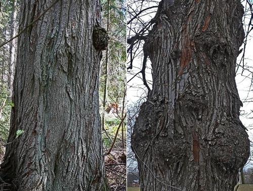 Metsä- ja puistolehmusten rungot vertailussa. Kuva: Jouko Lehmuskallio