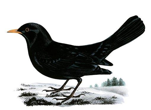Mustarastas. M. & W. von Wright: Svenska fåglar  (Kansalliskirjasto).