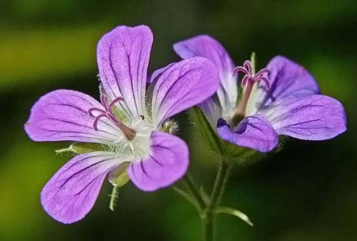 Metsäkurjenpolvi, Geranium sylvaticum