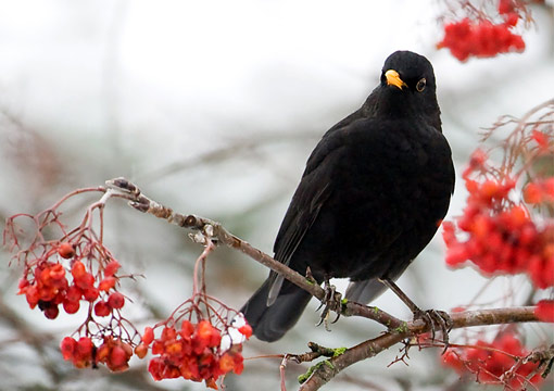 Mustarastaita voi bongata tänä talvena runsaasti. Kuva: Ari Nordström.