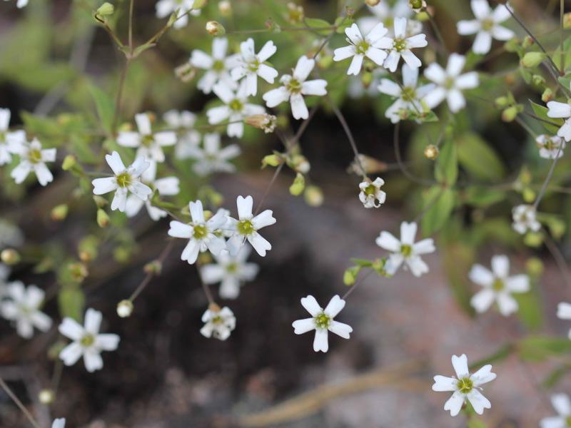 Valkoinen Pieni Kukka