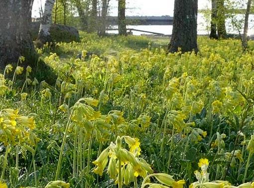 Kevätesikkoa. Kuva: Jouko Lehmuskallio