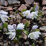 Persiansinililja. Kuva: Jouko Lehmuskallio