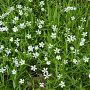 Kevättähtimö, kuva: Jouko Lehmuskallio