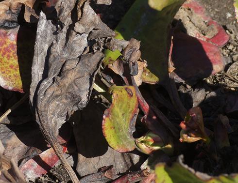 Vuorenkilven talven aikana fermentoituneet lehdet. Kuva: Jouko Lehmuskallio