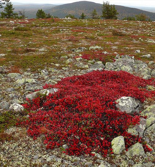 Riekonmarja, kuva Jouko Lehmuskallio