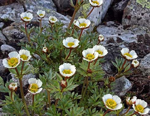 Jääleinikki, Ranunculus glacialis. Kuva: Jorma Karjalainen