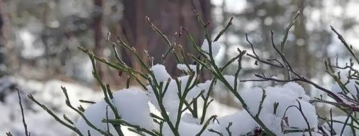 Mustikka talvehtii. Kuva: Jouko Lehmuskallio