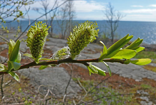 Kiiltopaju, Salix phylicifolia. Kuva: Jouko Lehmuskallio