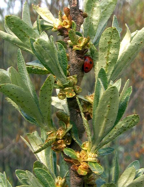 Tyrni, Hippophae rhamnoides