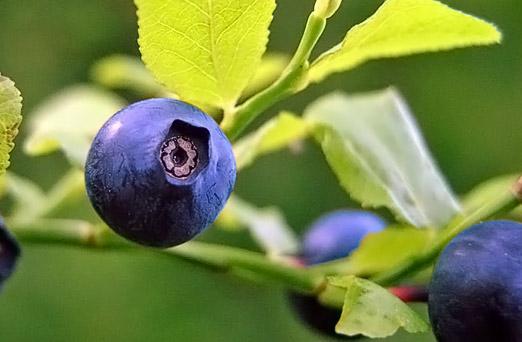 Mustikka, Vaccinium myrtillus